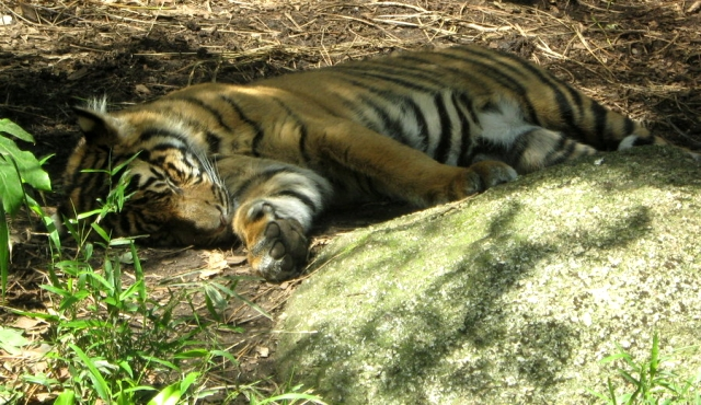 Picture of a sleeping tiger
