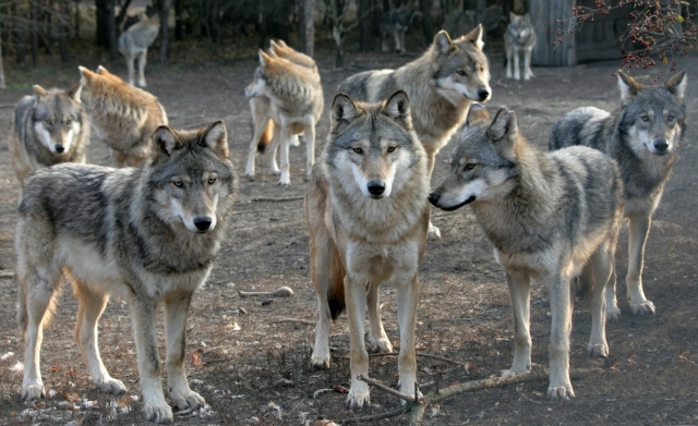 Picture of a wolf pack which represents recruiters