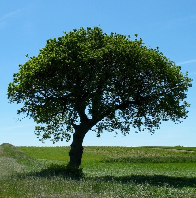 Tree in a field -