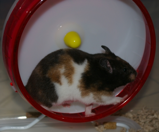 Picture of a hamster on a wheel to reflect the recruitment hamster wheel trap